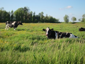 Hollands Cows.