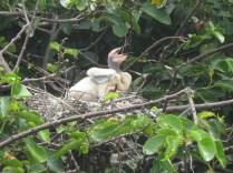 June, Wakodahatchee Wetlands, Delray Beach, FL, baby anhinga