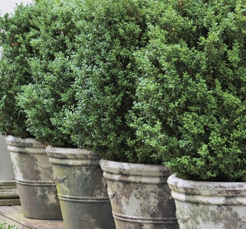 Boxwood in Planters via Southern Living