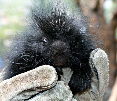 Baby Porcupine at Cheyenne Mountain Zoo