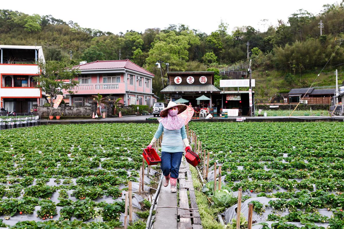 Strawberry Picking in Dahu, Taiwan