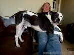 Tisen making heroic efforts to climb into Pat's lap
