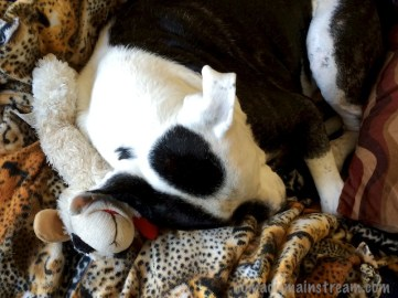 Tisen cuddling with Lamb Chop because I'm too busy working to provide a lap