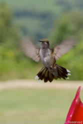 """A juvenile male hummingbird has one red feather that's """"popped"""" on what will eventually be his ruby throat"""