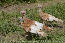 Remember Tom Turkey? These are 3 of his offspring.