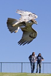I was not the only spectator fascinated by this fairly bold red-tailed hawk