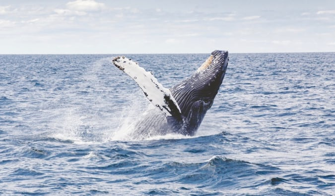A whale jumping from the water