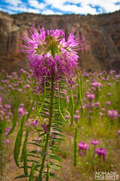Canyon Of Beeplants