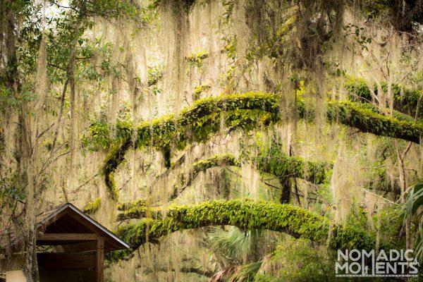 Spanish moss dangles from tree limbs.