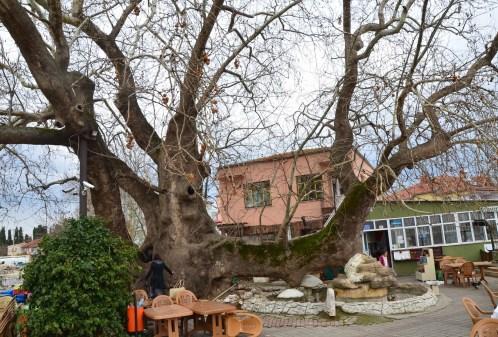 Ağlayan Çınar in Gölyazı, Turkey