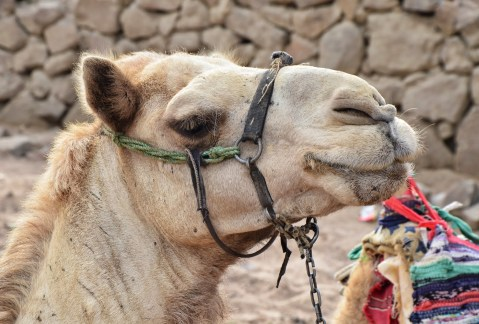 Camel at Abu Galom in Sinai, Egypt