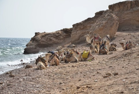 Camels on the beach at Abu Galom in Sinai, Egypt