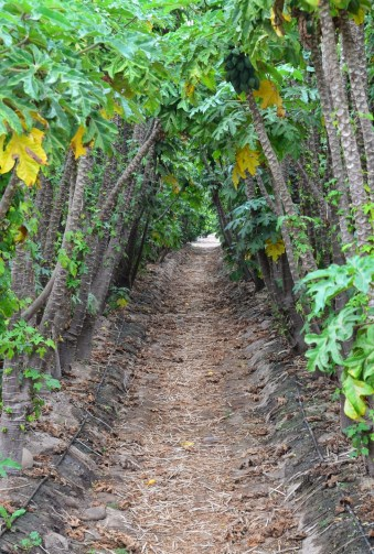 Papaya grove in Valle del Elqui, Chile