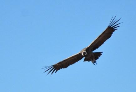 Condor at Valle Nevado, Chile