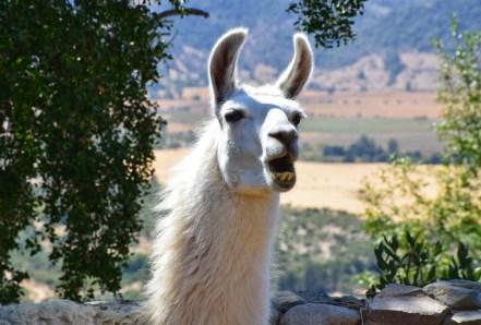 Llama at Viña Santa Cruz in Colchagua Valley, Chile