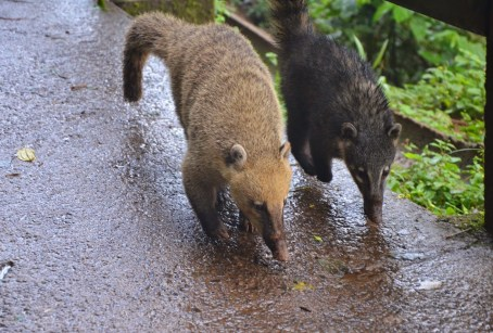 Coati at Parque Nacional do Iguaçu in Brazil