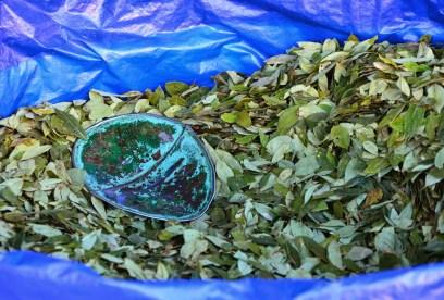 Coca leaves in Potosí, Bolivia