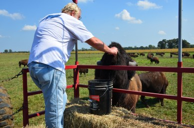 The owner feeding a bison at Broken Wagon Bison in Porter County, Indiana
