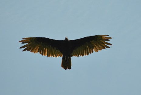 Turkey Vulture at Dune Ridge Trail Indiana Dunes National Lakeshore