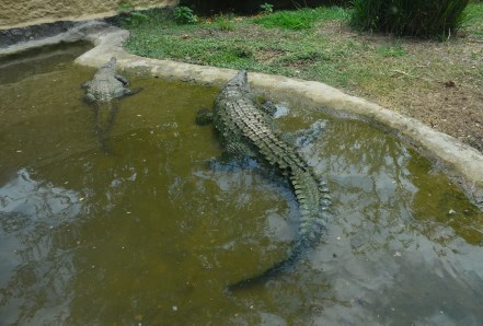 Crocodile at Zoológico de Cali in Colombia