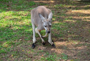 Kangaroo at Zoológico de Cali in Colombia
