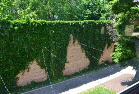 Ivy at the John J. Glessner House in Chicago, Illinois