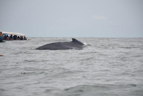 Humpback whale in Parque Nacional Natural Uramba Bahía Málaga, Colombia