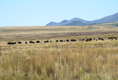 Bison at Antelope Island State Park in Utah