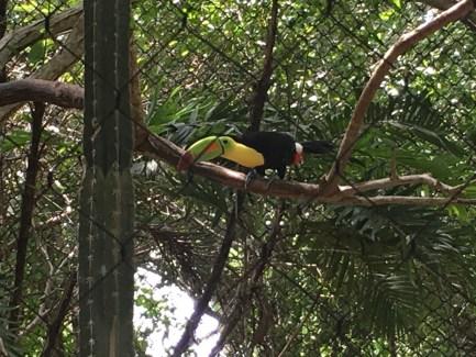 Toucan at the Aviario Nacional in Colombia