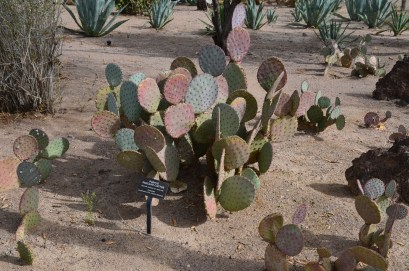 A species of cactus at the Ethel M Botanical Cactus Garden in Henderson, Nevada