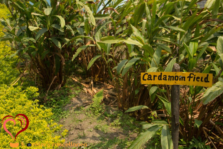 Cardamom Fields