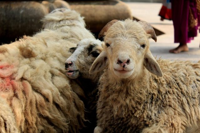 Sheep for slaughter