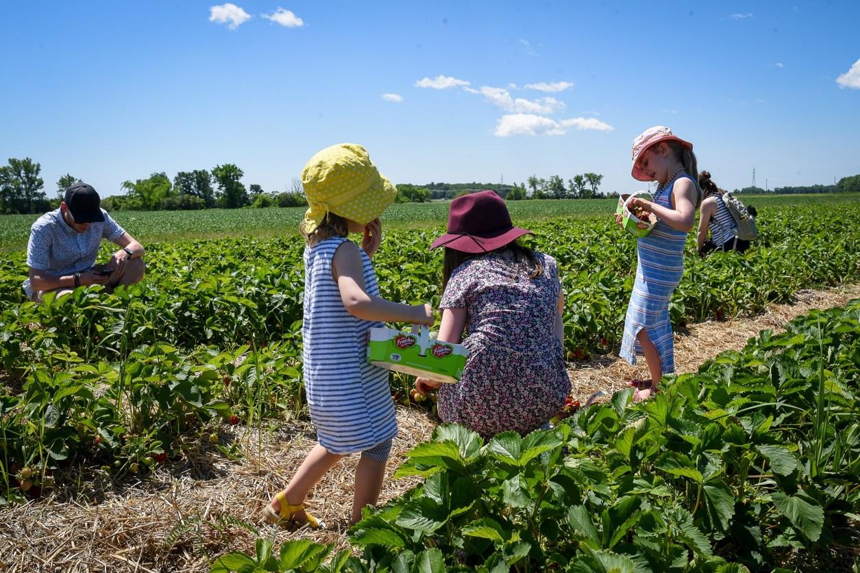 cueillette fraises îles d'Orléans