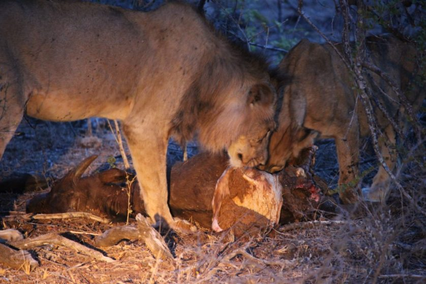 Lions feasting on water buffalo