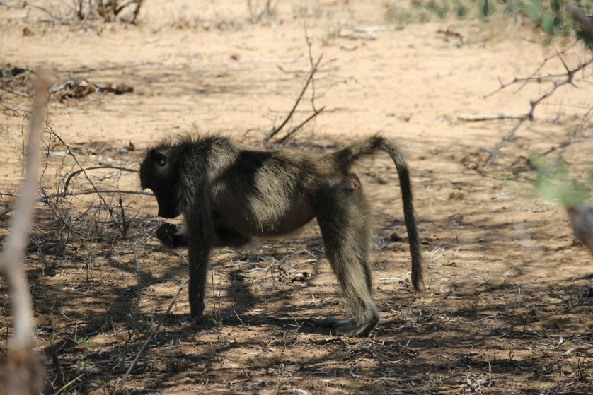 Baboon. These guys are mean and scary.