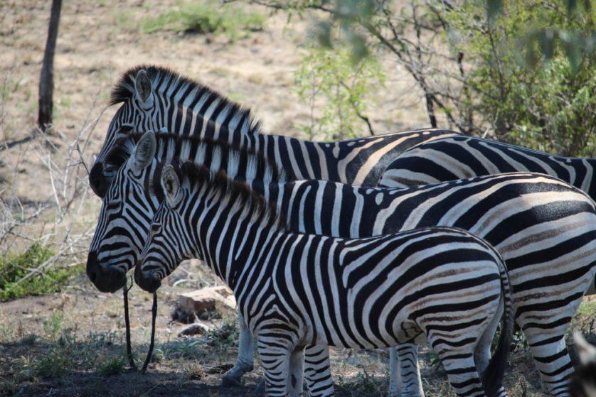 Matroshka zebras?