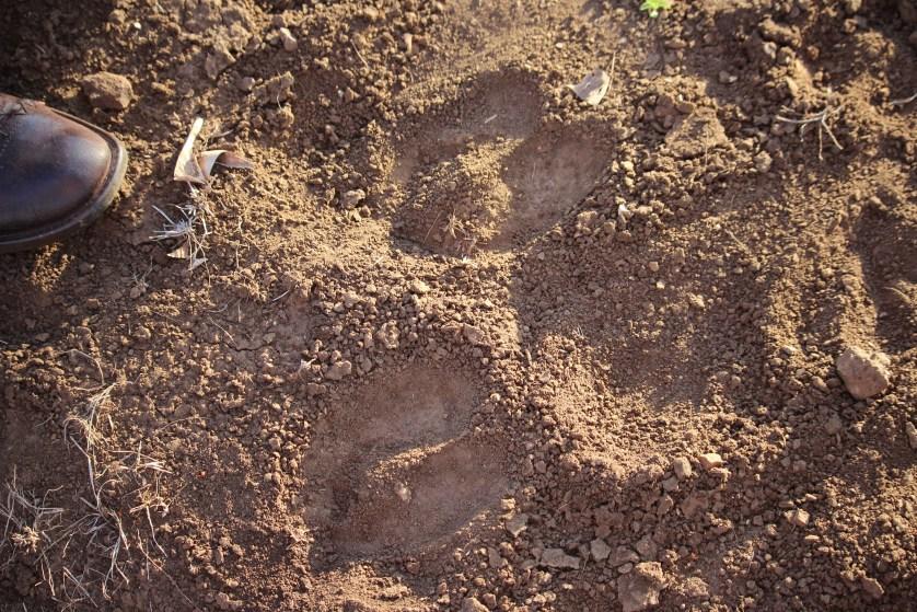 Tracking White Rhinos