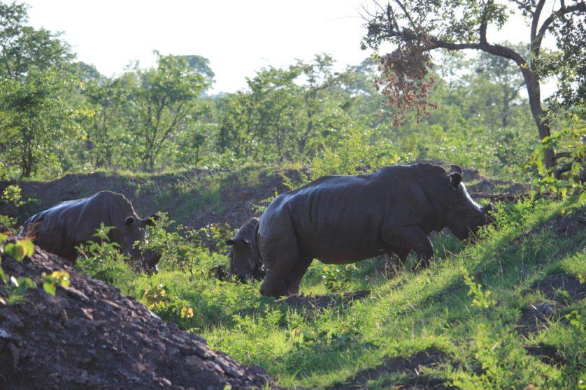 Rhinos in their Mud Bath