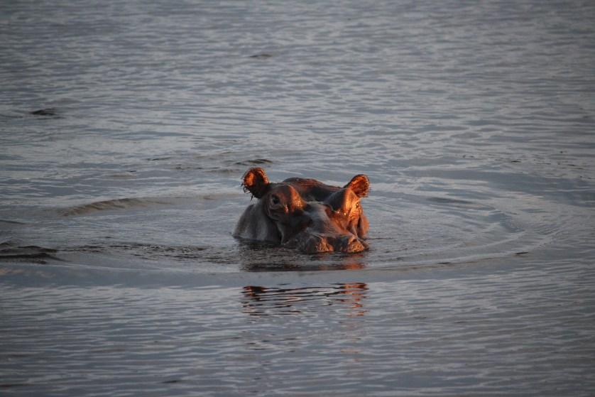 More Hippos!