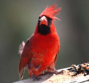 cardinal bird windy day