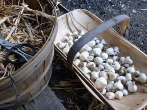 How long does garlic stay fresh