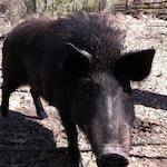 Dennis, the wild boar