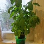 Basil from my windowsill