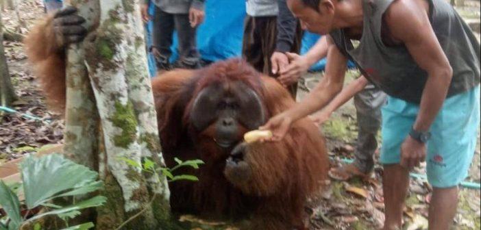 Warga Paser Geger, Seekor Orangutan Kesasar di Permukiman