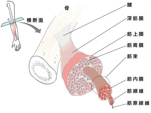 筋肉と筋膜の図