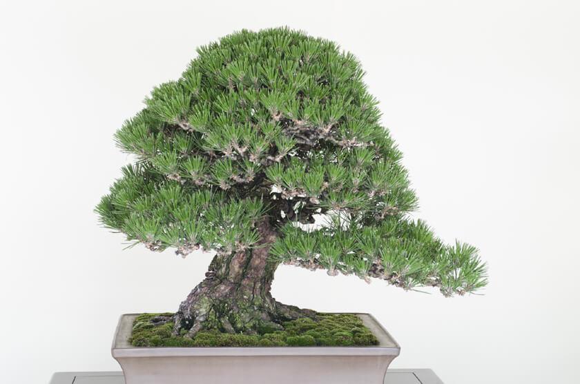 bonsai kakejiku