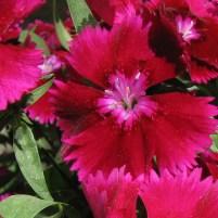 magenta_flowers1_sq