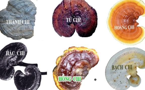 Nhận biết các loại nấm linh chi