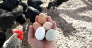 So You Want to Keep Chickens? Here's What You Need to Know