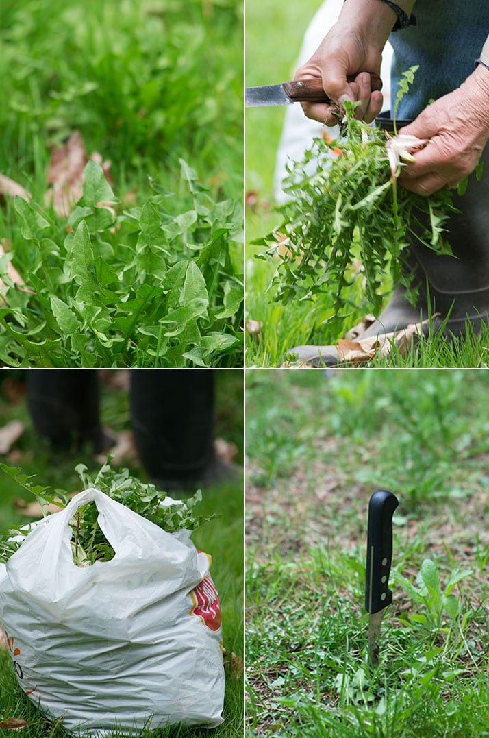 picking ciccoria or dandelion greens